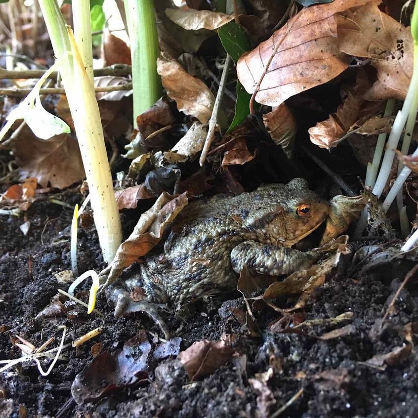 Toad taking refuge in garden leaves