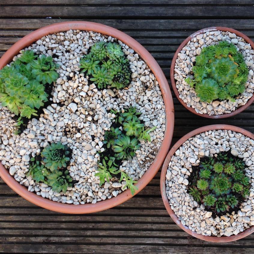 Sempervivum pots