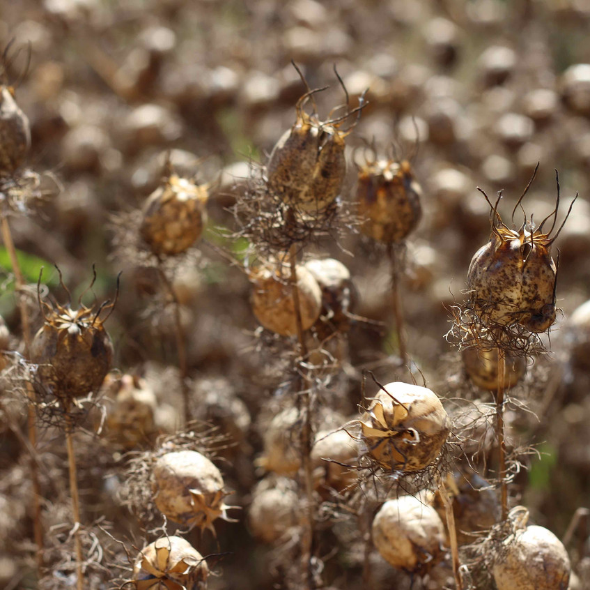 Seedheads Nigella