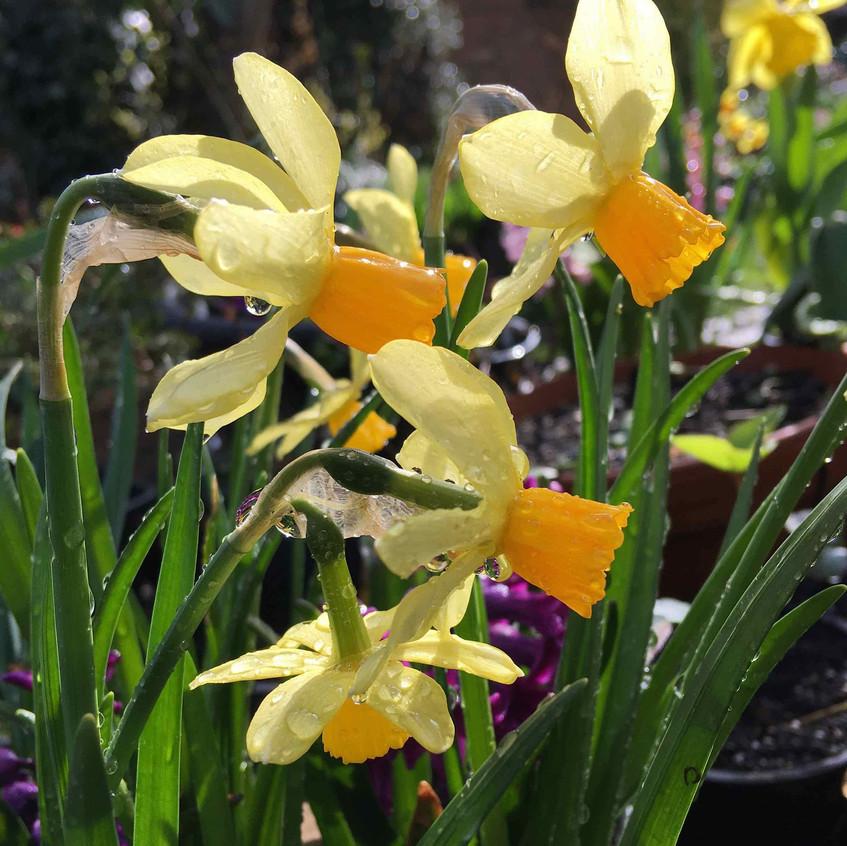 Narcissus. Raindrops & sunbeams