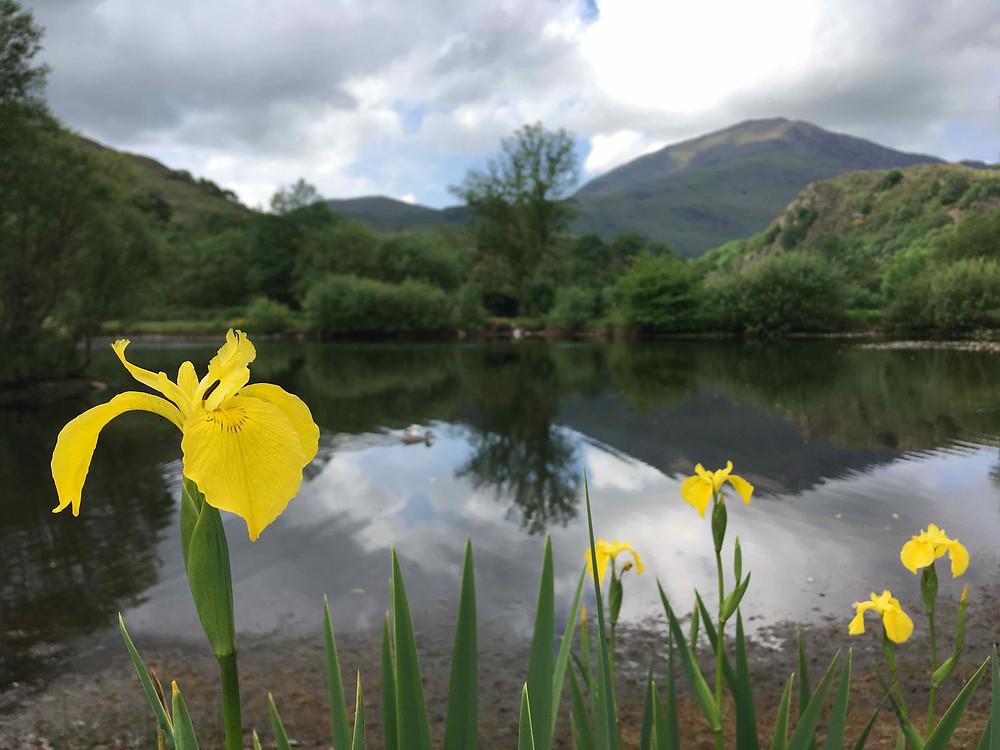 Iris' line the lake