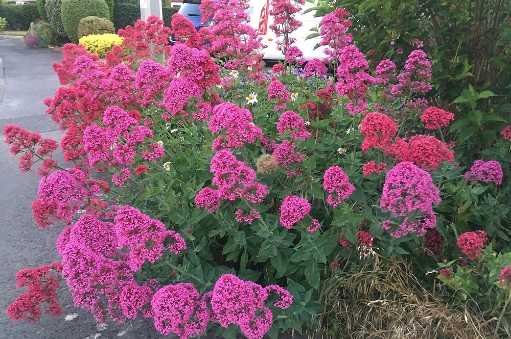 Red valerian growing profusely in the front garden