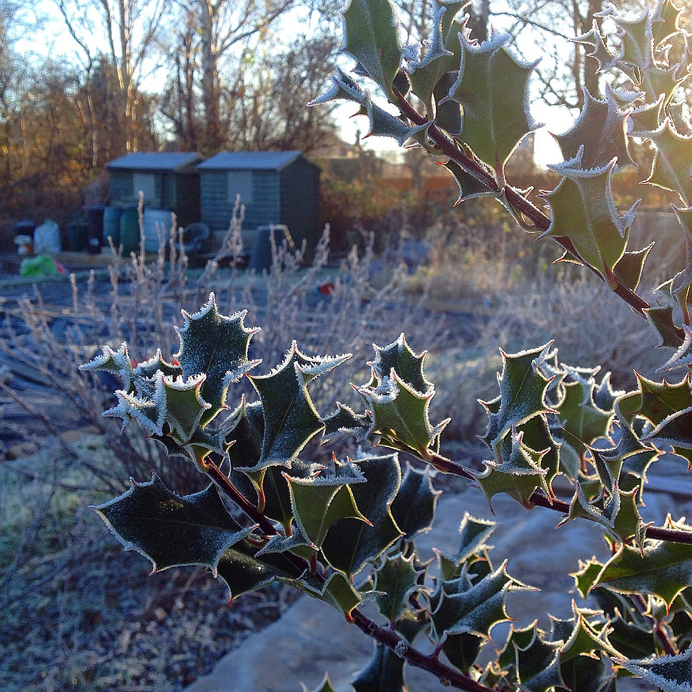 Winter allotment sparkles in the frost