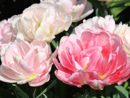 What bulbs can I plant now for spring interest?