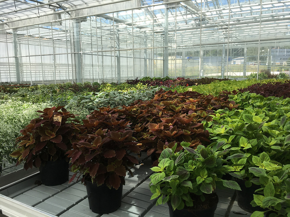 Coleus growing en masse in the greenhouses. Photo c/o Christophe FERLIN