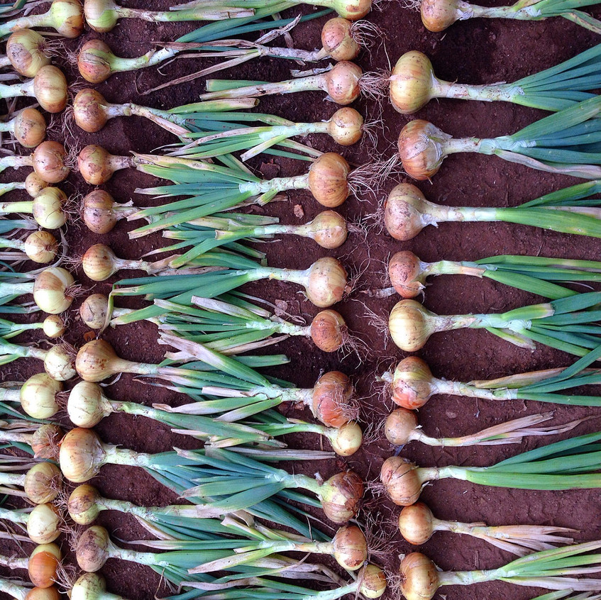 Onions laid out to dry
