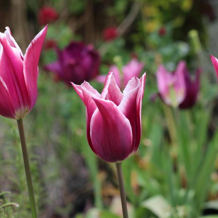 Tulips 'Claudia'