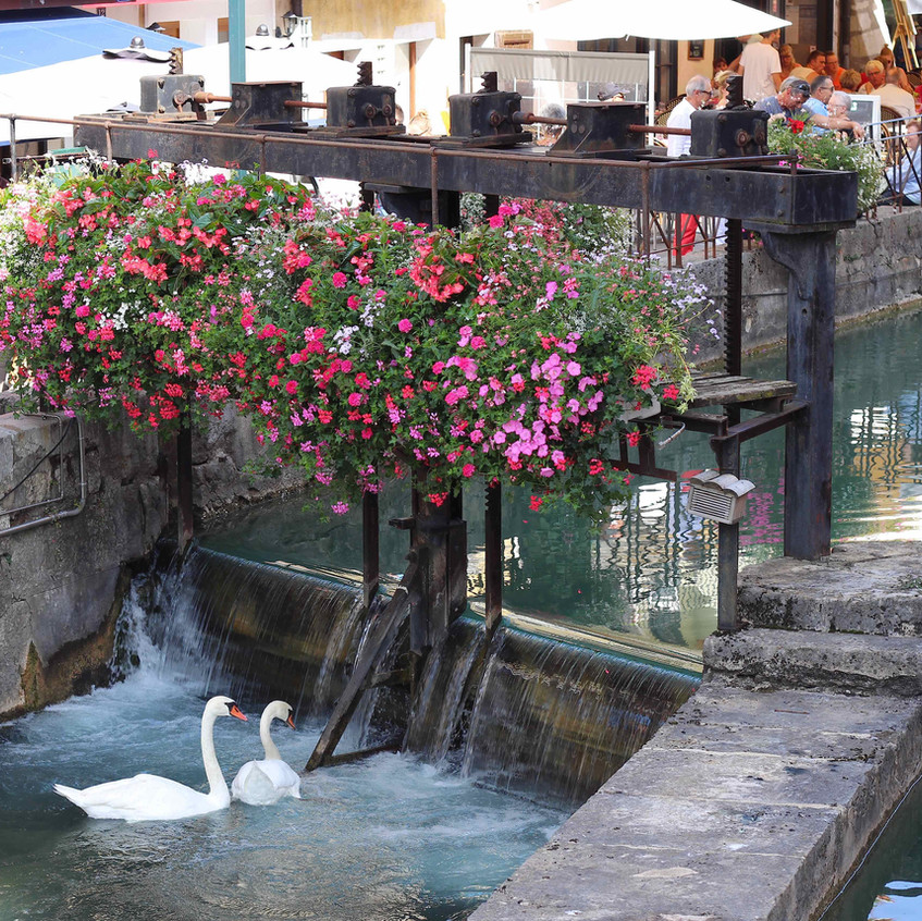 Swans at Annecy