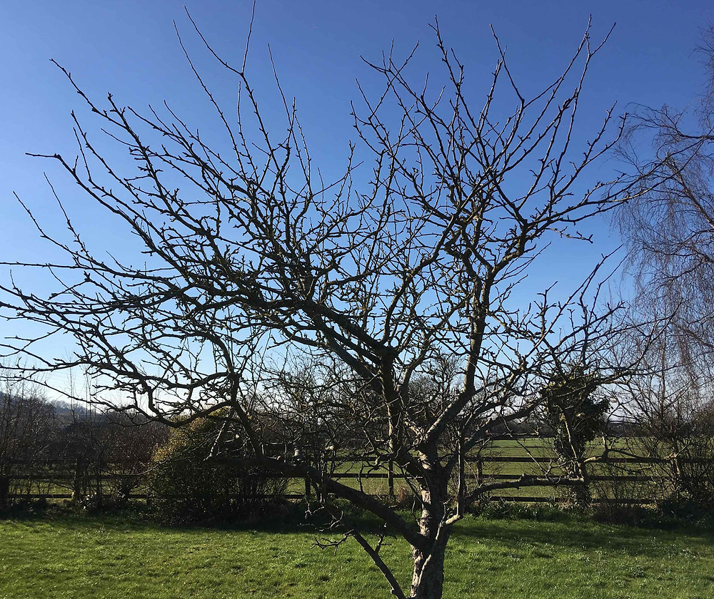 Prune apple and pear trees