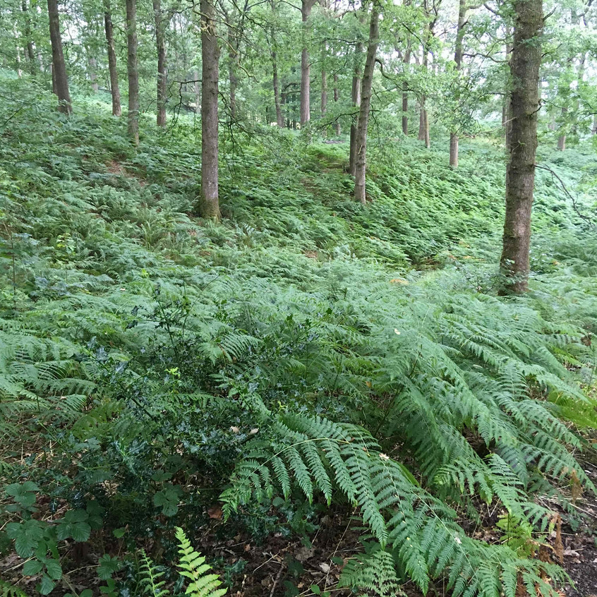 Fern-covered steep woodland