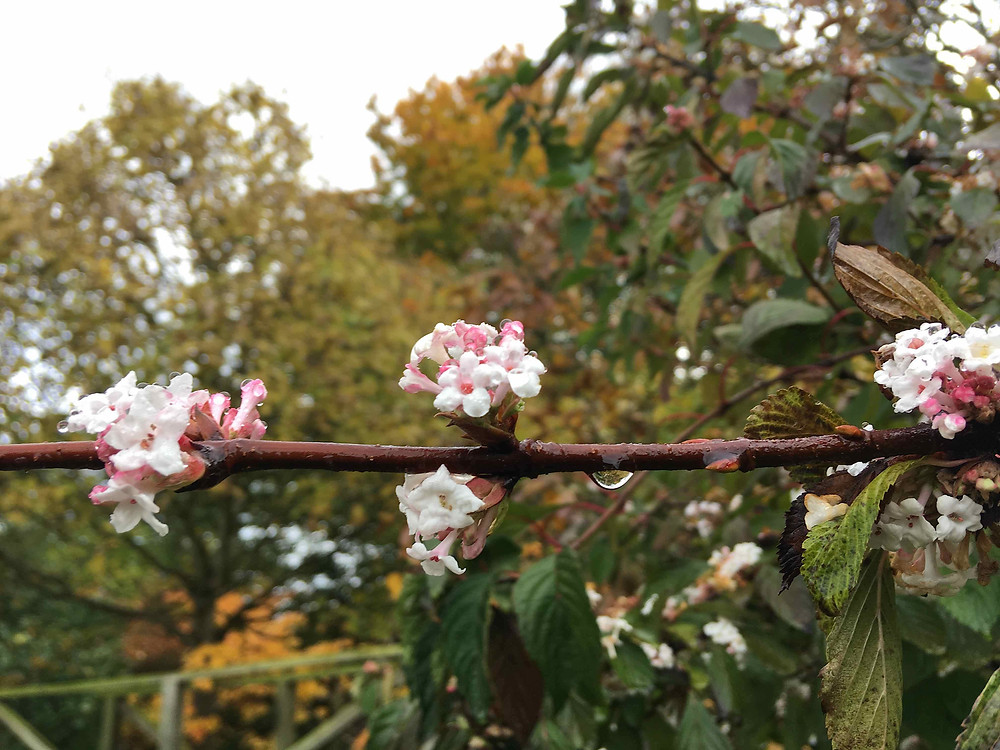 Viburnum x bodnantense 'Dawn' in flower NOW & smelling exquisite
