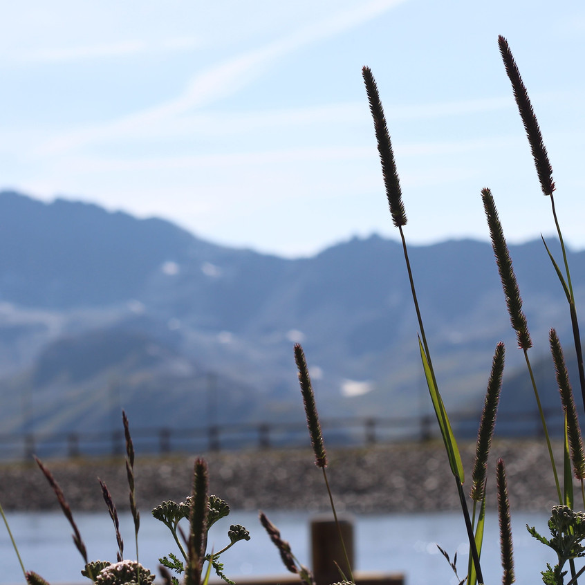 Alpine Plantain