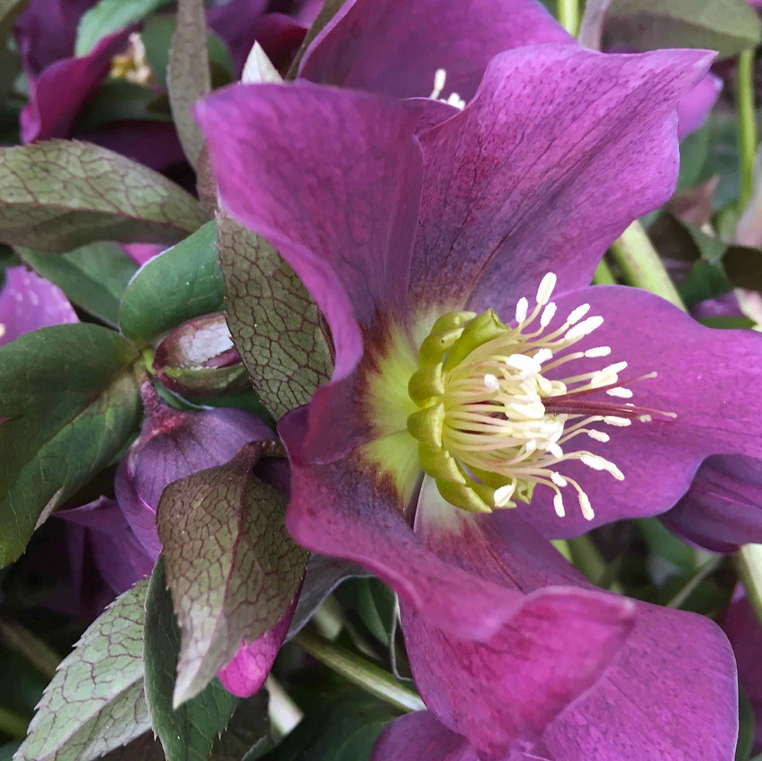 Helleborus - flower head
