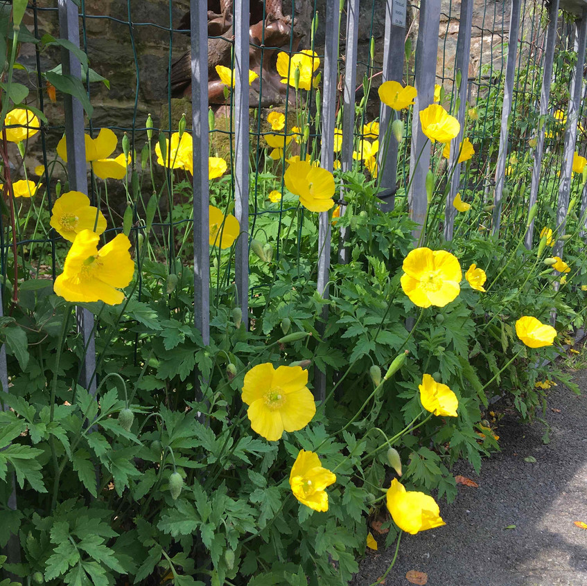 Welsh poppies in Wales