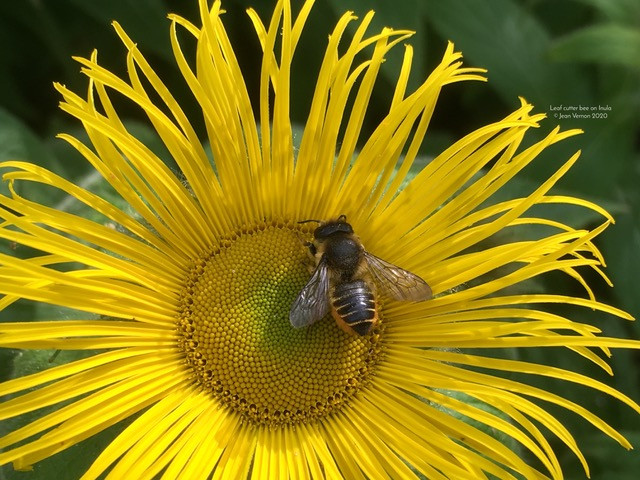 Leaf cutter bee on Inula © Jean Vernon 2020