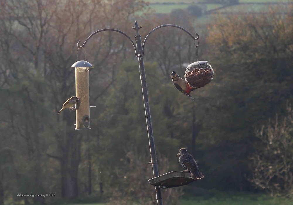 Attract birds such as Woodpeckers to your garden