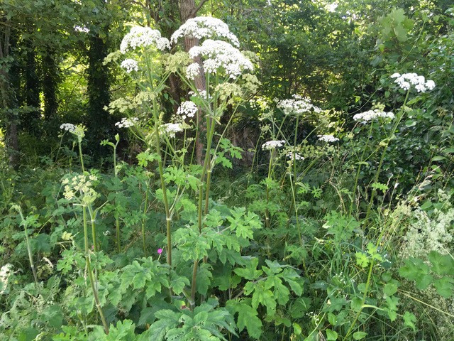 Hogweed thriving