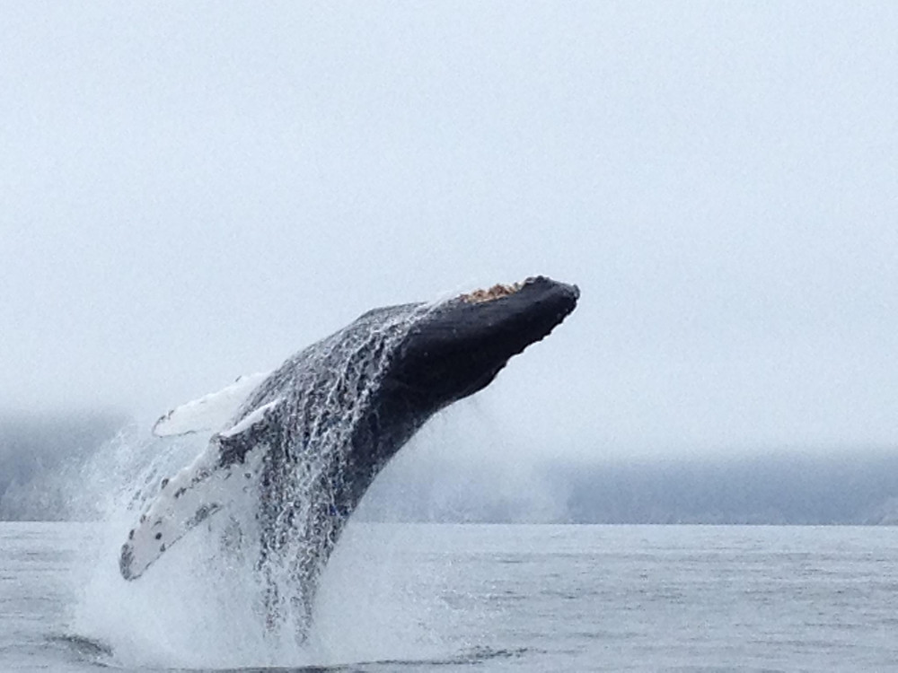 One of our Humback Whales showing off in Seward, Alaska