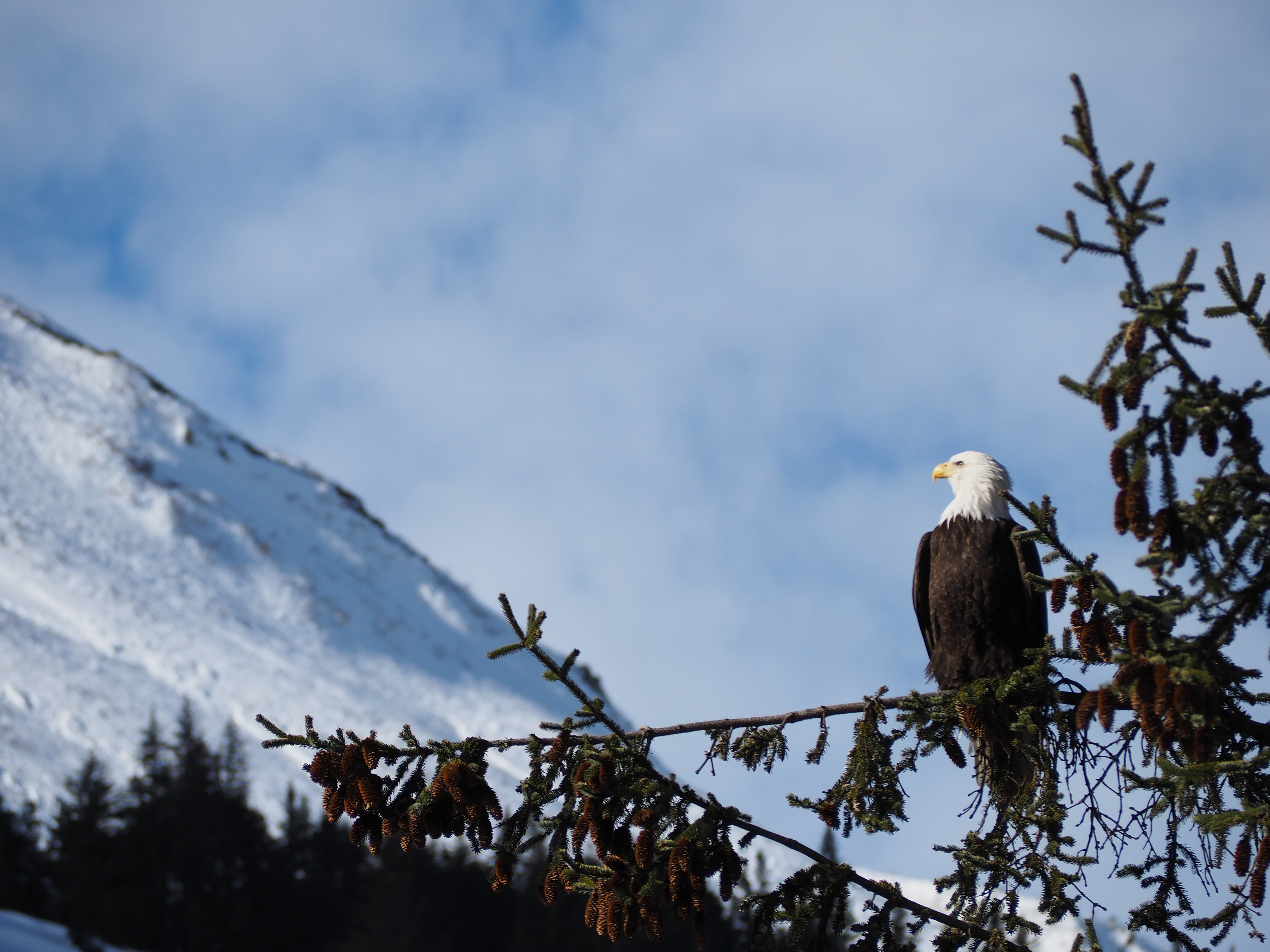 Winter Eagles Everywhere You Look