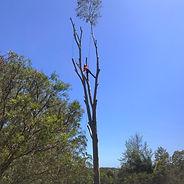 dismantling a huge gum tree