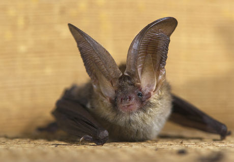 Brown Long-Eared Bat.jpg