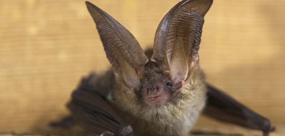Brown Long-Eared Bat.jpg