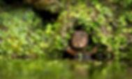 A little cute wild water vole in a hole.