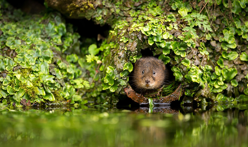 A little cute wild water vole in a hole.