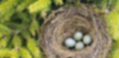 Detail of blackbird eggs in nest.jpg