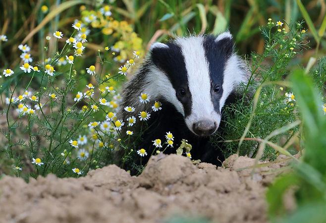 Badger in chamomile.jpg
