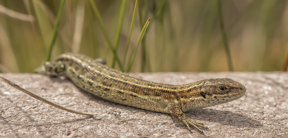 Common lizard on a wall in the sunshine.