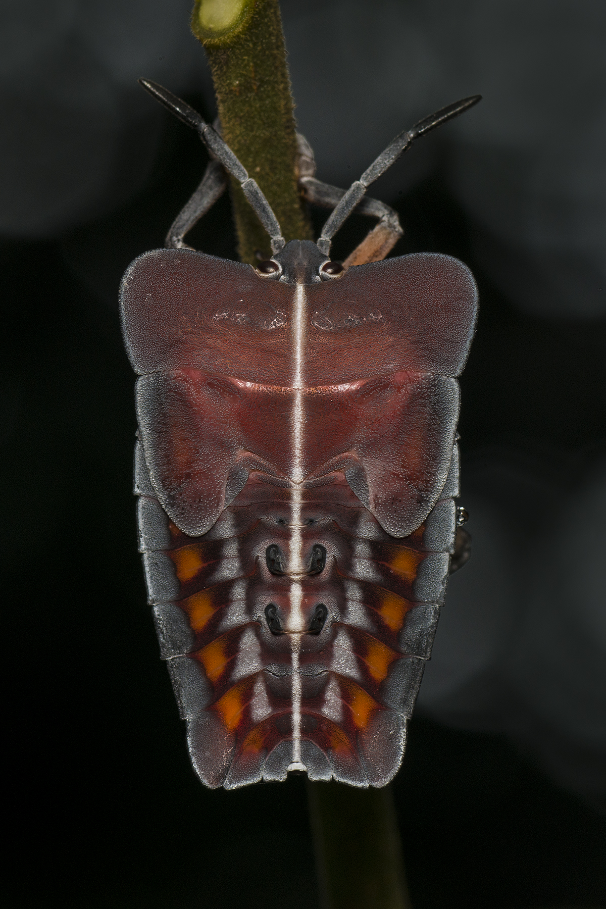 Nymph of Tessaratoma plant bug