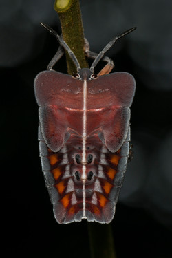 Nymph of Tessaratoma plant bug