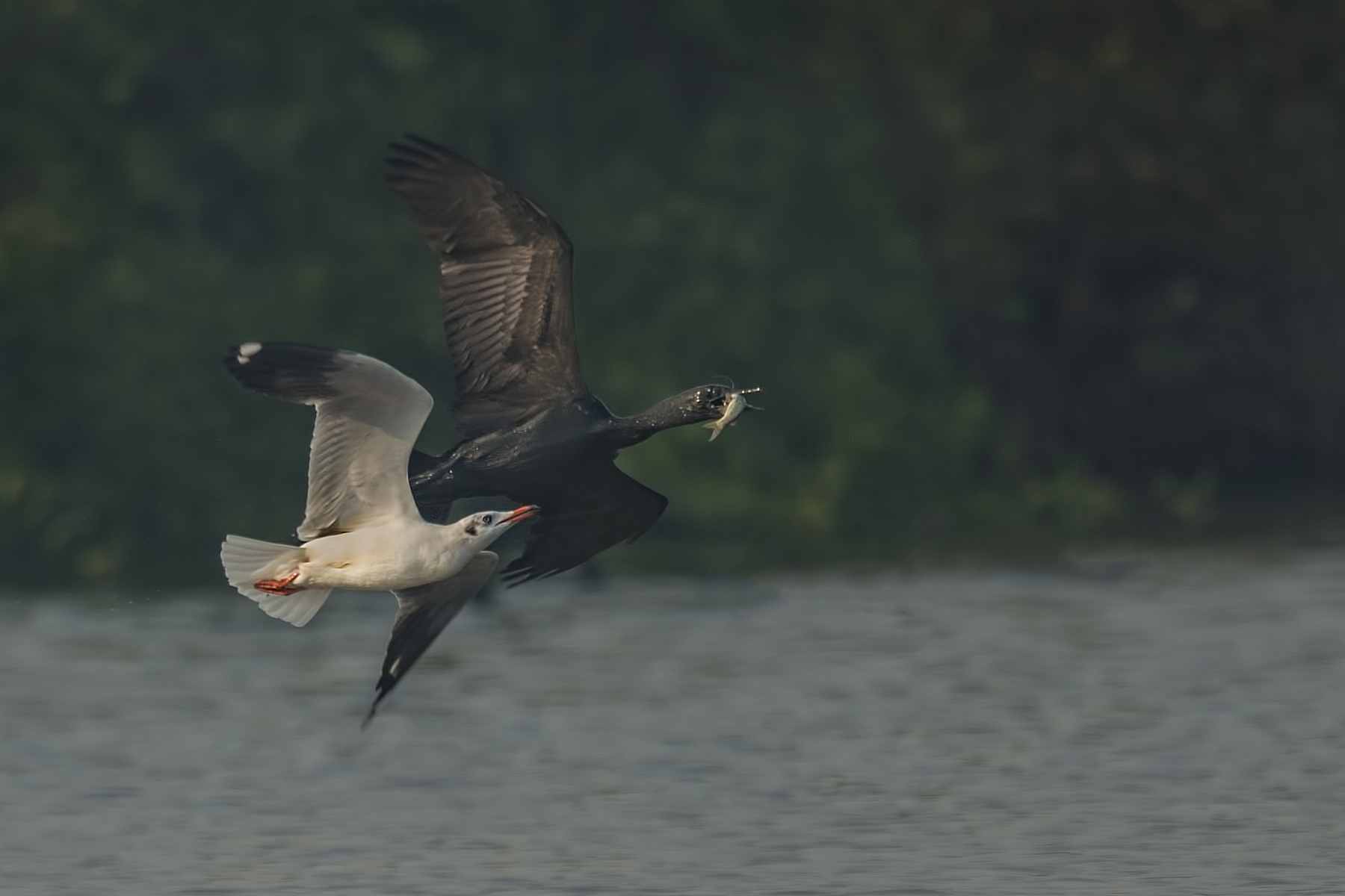 Brown-headed Seagull V/s Cormorant