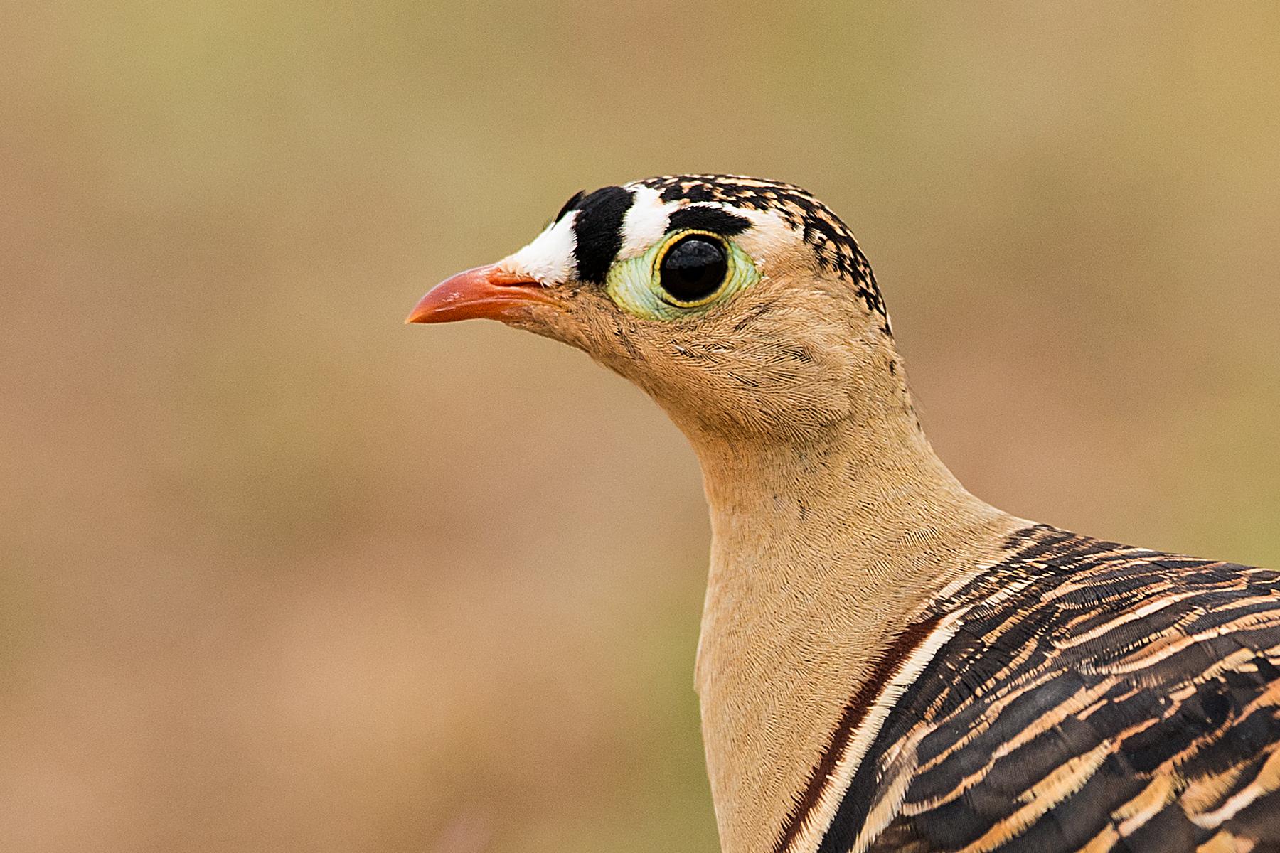 Painted sandgrouse - male