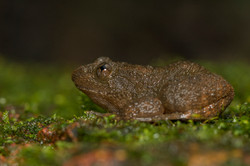 Wrinkled frog