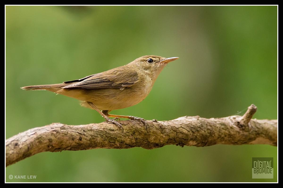 Blyth's-reed Warbler