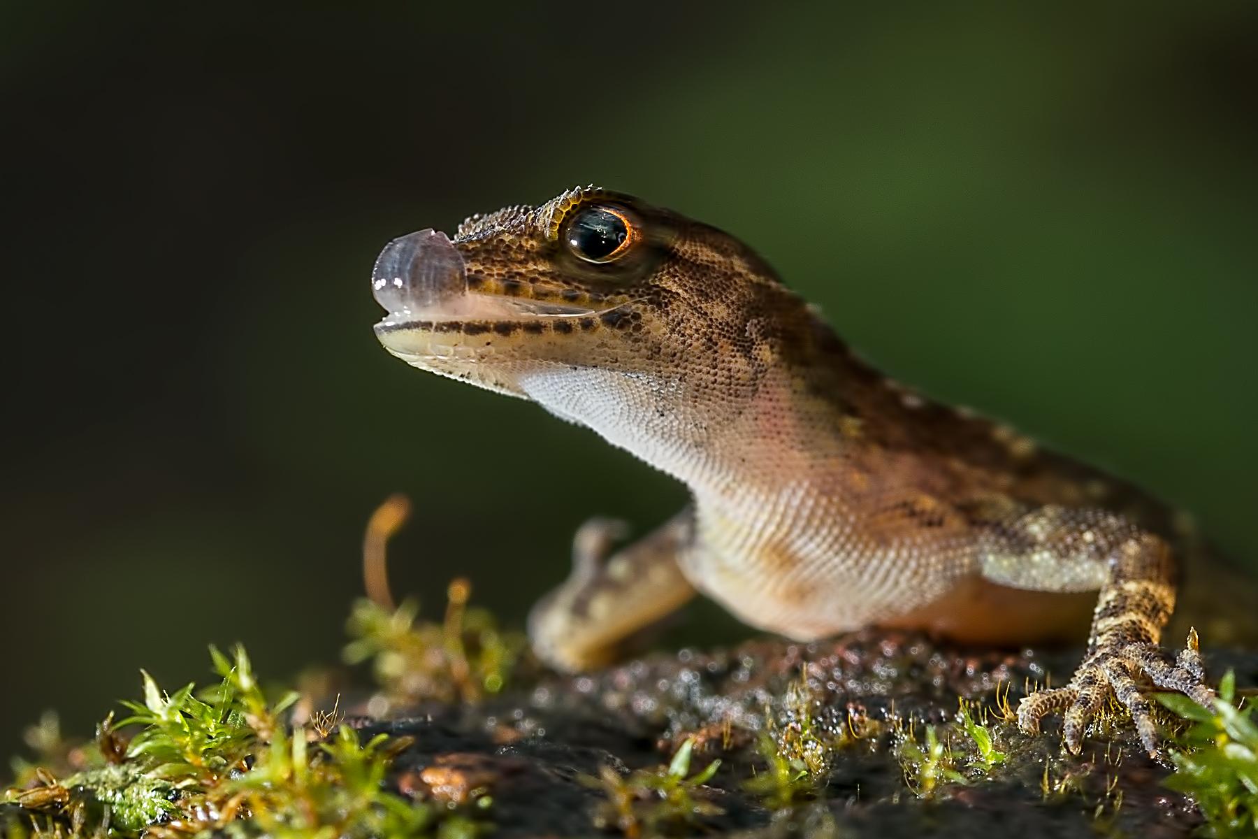 Day Gecko