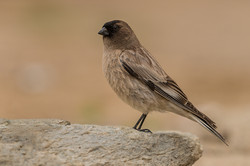 Brandts Mountain Finch