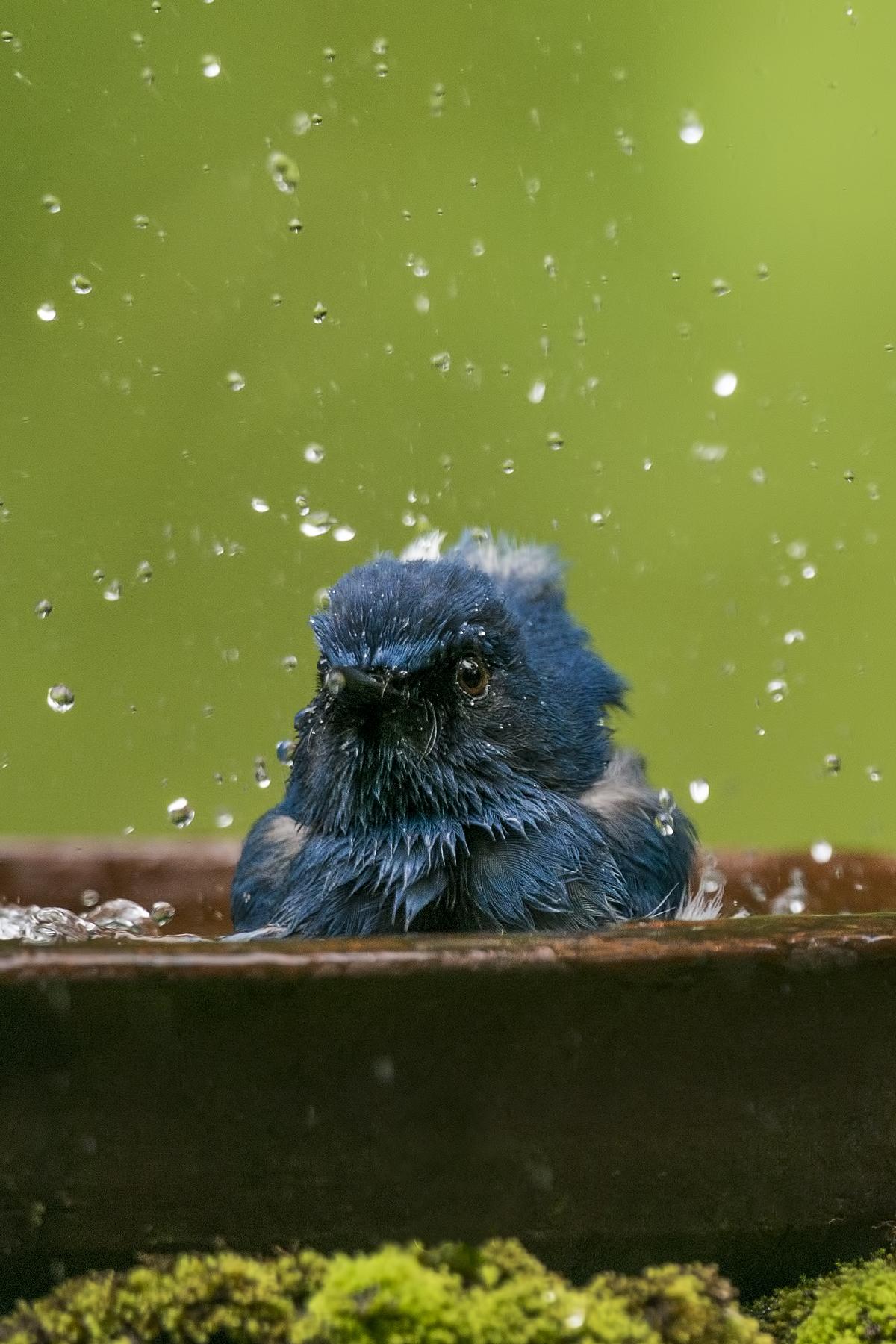 White-bellied_blue_flycatcher_1819