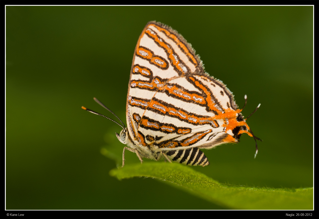 Silver-banded butterfly