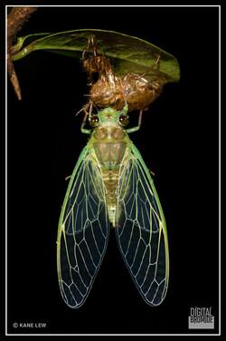 Freshly emerged Cicada