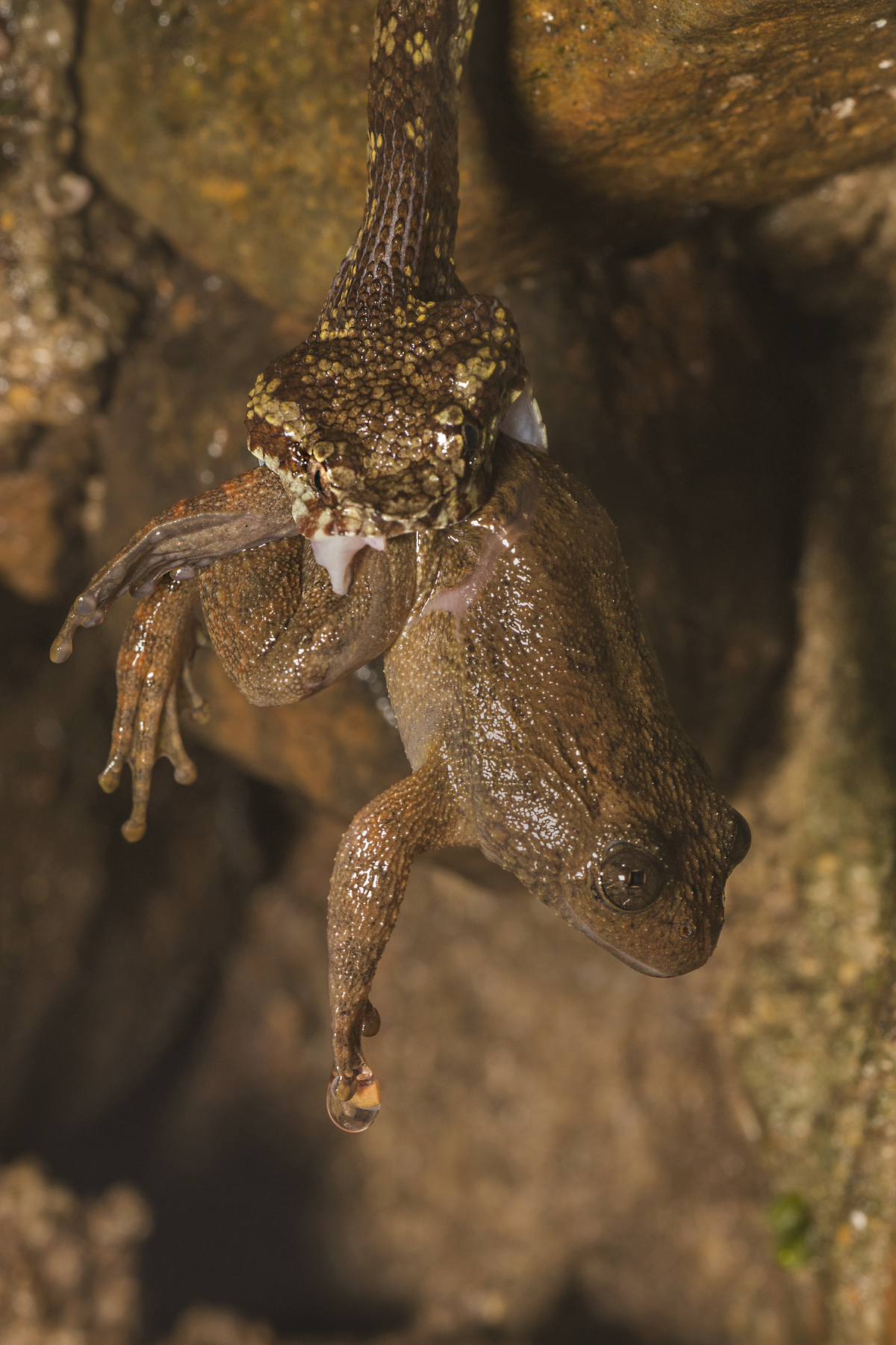 Malabar pit viper Night frog