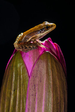 Fungoid frog