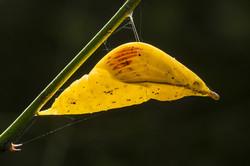 Great Orangetip chrysalis