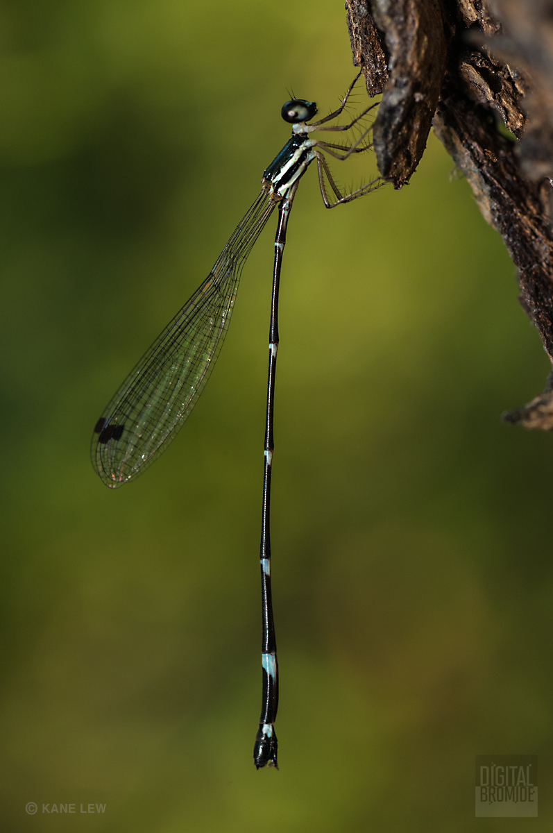 Bamboo tailed damselfly