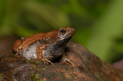 Ornate narrow mouthed frog