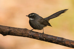 White-throated fantail