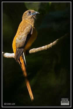 Malabar Trogon - Female