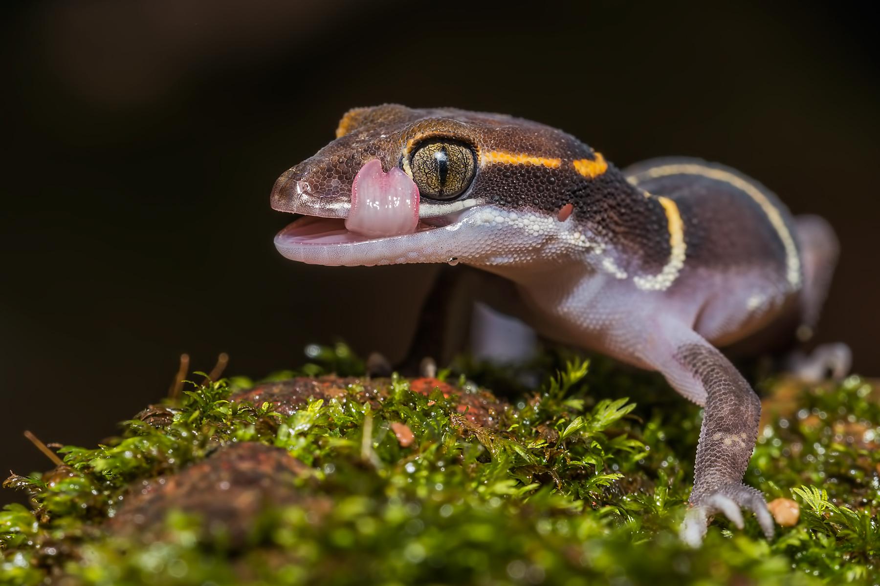 Boulengers gecko